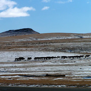 Mongolia - wild horses on steppes