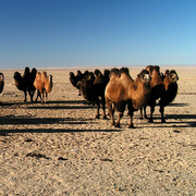 A herd of camels in the Gobi desert