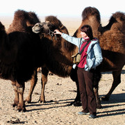 Gobi - the wild two-humped Bactrian camel