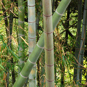 Japan - a bamboo tree in Kyushu