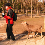 Japan - Nara Shika deer following Brano