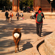Japan - Nara deer following Brano