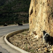 Goats on the narrow road