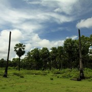 Sri Lanka - Kalkudah bay - palms without a top after tsunami hit
