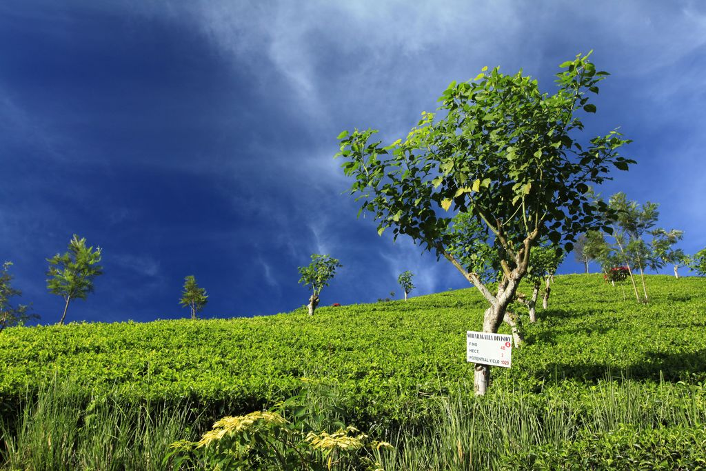 Haputale Sri Lanka  city pictures gallery : Sri Lanka Haputale tea plantations 11