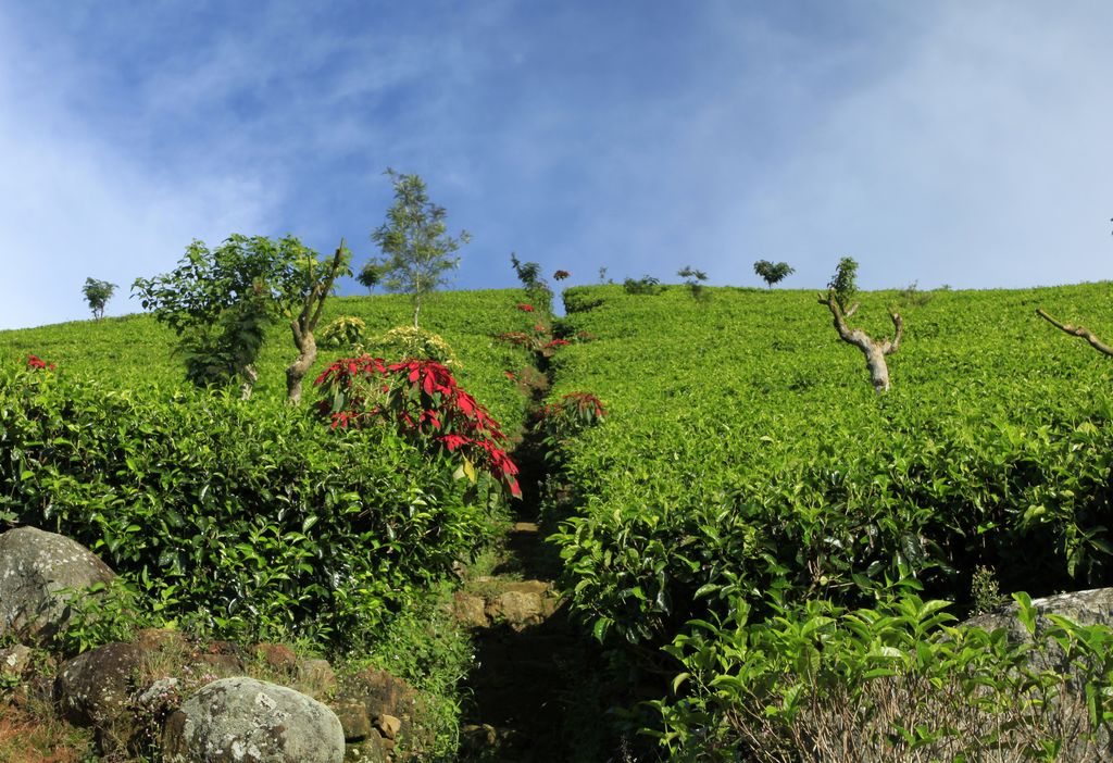 Haputale Sri Lanka  City new picture : Sri Lanka Haputale tea plantations 13