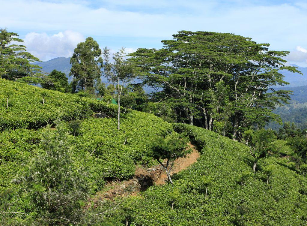 Sri Lanka Tea Plantation Tea Production In Sri Lanka