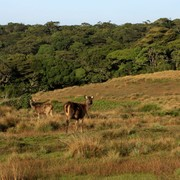 Sri Lanka - Sambar deers in Horton Plains 01