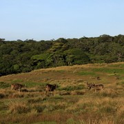 Sri Lanka - Sambar deers in Horton Plains 02