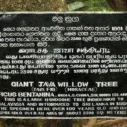 Sri Lanka - Giant Java Willow Tree