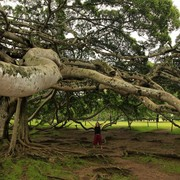 Sri Lanka - Paula under a Giant Java Willow Tree