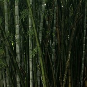 Sri Lanka - Kandy - a Giant Bamboo