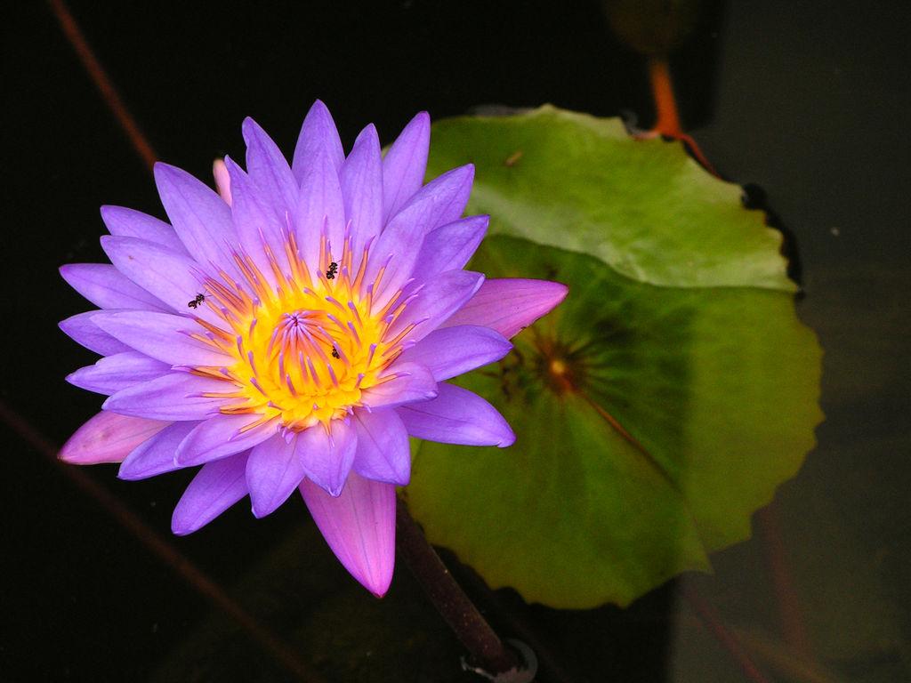 A purple lotus flower indonesia a purple lotus flower izmirmasajfo Choice Image