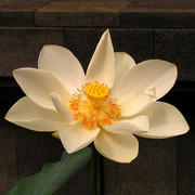 Indonesia - a white lotus flower