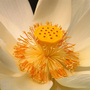 Indonesia - detail of a white lotus flower