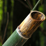 Japan - detail of a cut bamboo