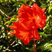 Malaysia - Borneo - a hibiscus flower