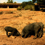 Mallorca - black pigs (el cerdo negro) in Son Real