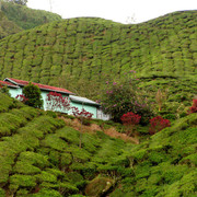 Malaysia - tea plantations in Cameron Highlands 01