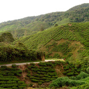Malaysia - tea plantations in Cameron Highlands 02