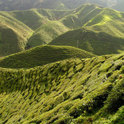 Malaysia - tea plantations in Cameron Highlands 03