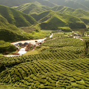 Malaysia - tea plantations in Cameron Highlands 04