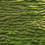 Malaysia - tea plantations in Cameron Highlands 05