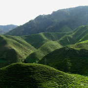 Malaysia - tea plantations in Cameron Highlands 06