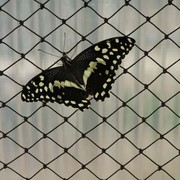 A butterfly 04
